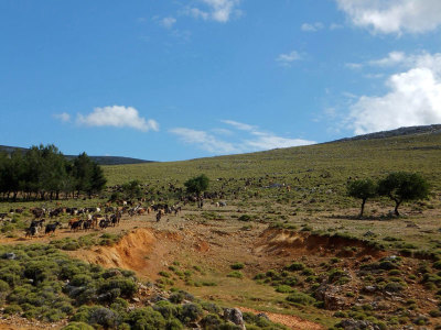 Goats grazing in Chios, photo by Roxanne Darrow