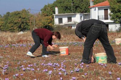 Harvesting saffron in Kozani, photo by Ilias Fountoulis