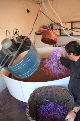 Separating the crocus stigmas from the petals to harvest saffron, photo by Ilias Fountoulis