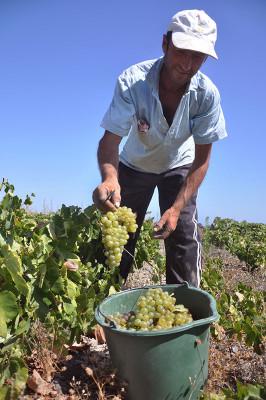 Assyrtiko harvest at Diamantakis, photo by Angelos Damoulianos