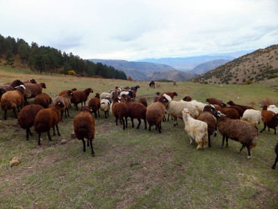 Yıldırım's Karaman sheep, photo by Roxanne Darrow