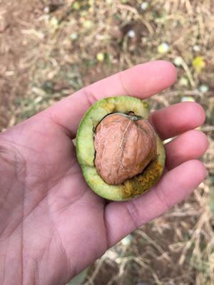 A fresh walnut, photo by Laura Pitel