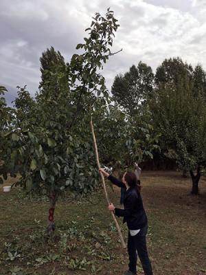 Harvesting walnuts, photo by Laura Pitel