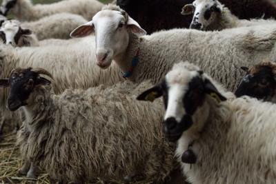 Gökçeada sheep, photo by Filiz Telek