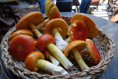 Caesar's mushrooms found in Istanbul's Belgrade Forest, photo by Ansel Mullins