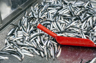 Fresh hamsi (anchovies) for sale in Sinop, photo by Theodore Charles