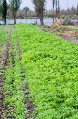 Señor Nicola's chinampa crops